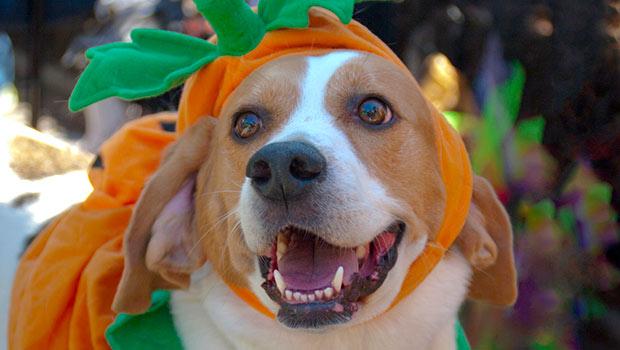 A beagle dressed as a pumpkin