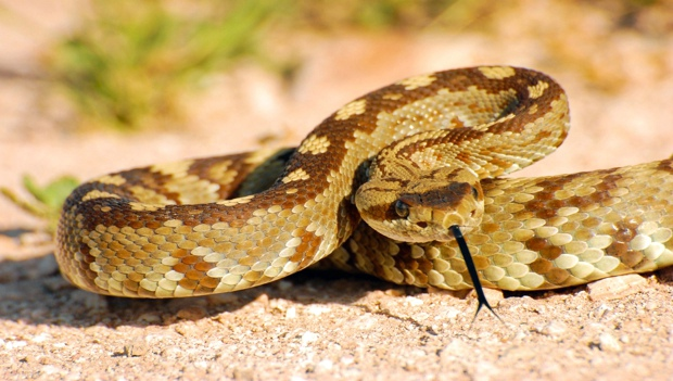 Rattlesnakes: Fact or Fiction? | ACTIVE