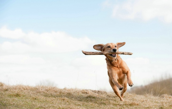 Dog with Stick in Mouth